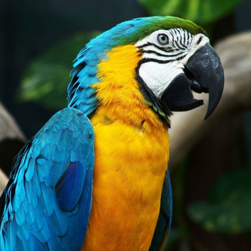 blue_and_gold_macaw_4-500x500