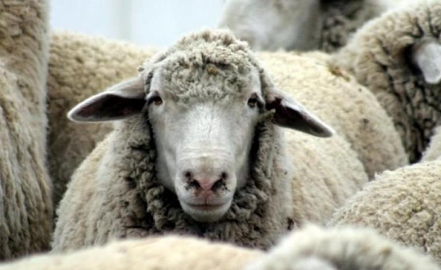 Απίστευτη κτηνοβασία στη Λάρνακα! 61χρονος βίαζε … προβατίνες!