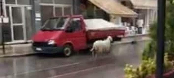 Πρόβατο έτρεχε… στο αντίθετο ρεύμα -Παραλίγο να… τρακάρει (βίντεο)