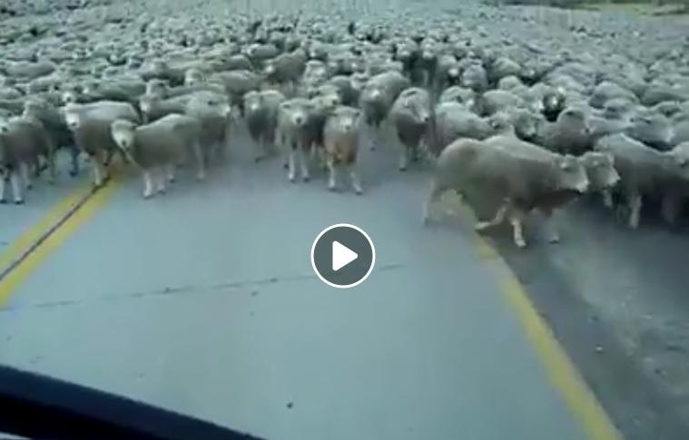 Κοπάδι με χιλιάδες πρόβατα…ΠΡΑΓΜΑΤΙΚΑ ΑΜΕΤΡΗΤΑ!ΔΕΙΤΕ ΤΟ ΒΙΝΤΕΟ!