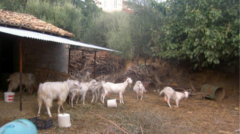 Κρήτη: Κτηνοτρόφος Βρέθηκε νεκρός στο μαντρί του