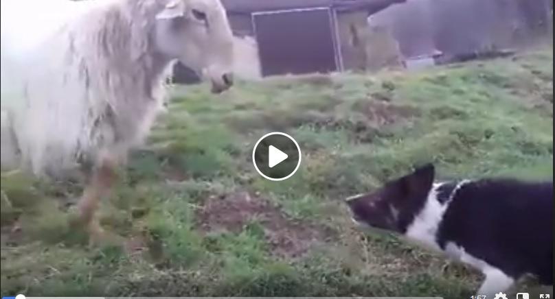 Απίστευτος σκύλος,δείτε πως μαντρώνει πρόβατο που το έσκασε από τη στάνη!