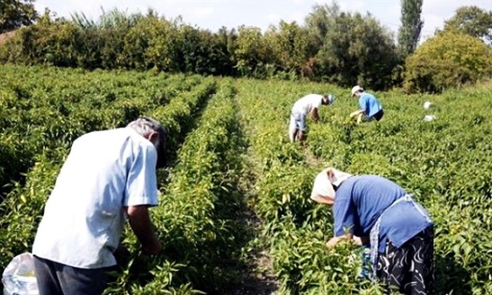 Αντιδρούν οι Έλληνες αγρότες για τα αυξημένα μεροκάματα τον Αλβανών εργατών