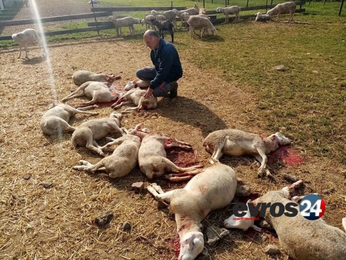 ΕΙΚΟΝΕΣ ΣΟΚ:Δεκάδες ζώα νεκρά ΣΕ ΜΑΝΤΡΙ από επίθεση ΑΔΕΣΠΟΤΩΝ!