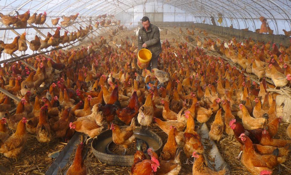 Πρόβλεψη επιστήμονα: Από την πανδημία θα πεθάνει ο μισός πληθυσμός από τα κοτόπουλα!