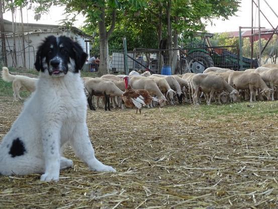 ΑΠΙΣΤΕΥΤΟ:Σκύλος σκότωσε 20 πρόβατα και έστειλε αστυνομικό στο χειρουργείο
