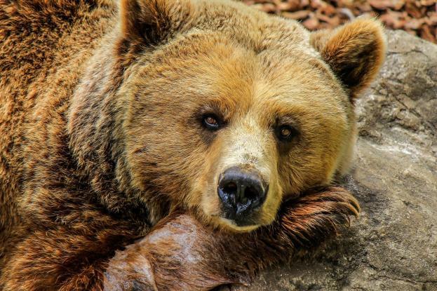 ΜΕΤΣΟΒΟ:Αρκούδες έκαναν πάρτυ καταναλώνοντας όλο το τσίπουρο και το κρασί!