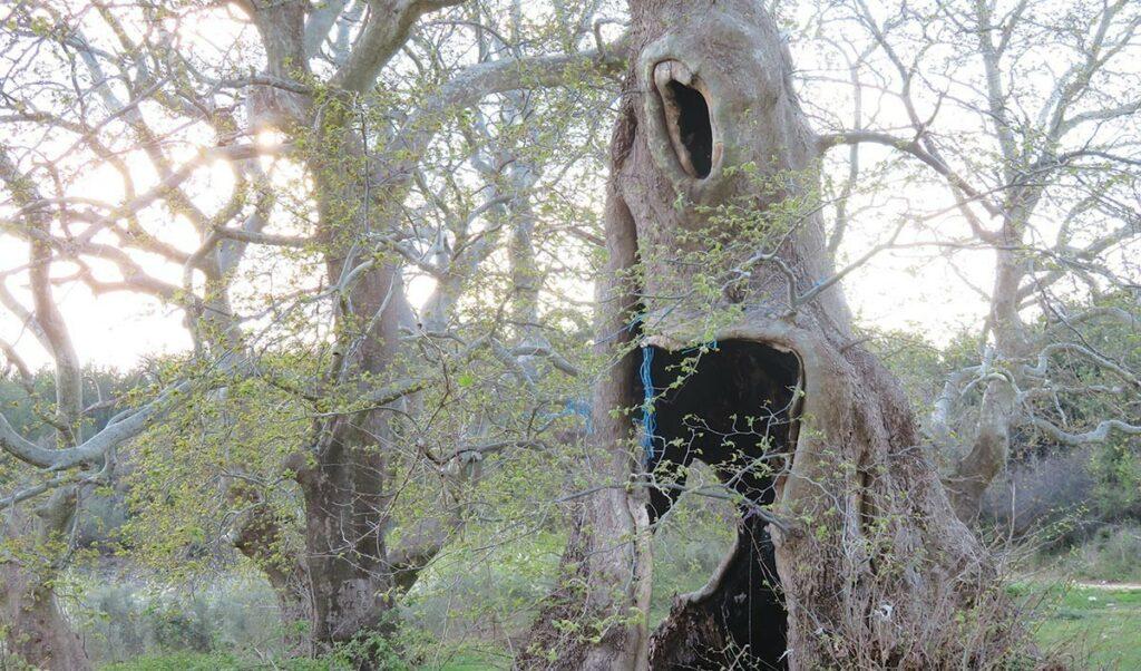 Σήμα κινδύνου στα Ιωάννινα – «Θανατηφόρος» μύκητας καταστρέφει δάση από αιωνόβια πλατάνια