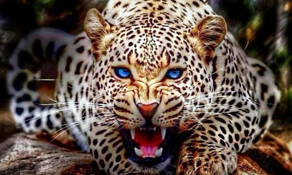 ΤΡΑΓΩΔΙΑ:Πλήρωσε για να μπει σε κλουβί με λεοπάρδαλη και τώρα χαροπαλεύει!