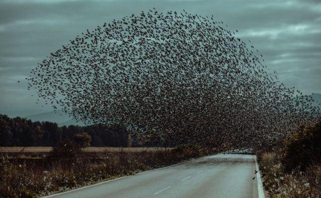 Εντυπωσιακό σκηνικό με σμήνος πουλιών στο δρόμο – (ΒΙΝΤΕΟ]
