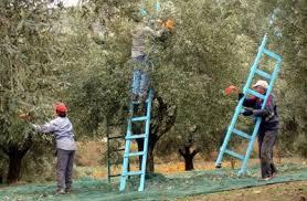 Ειδική μέριμνα για εποχικά εργαζόμενους στο μάζεμα της ελιάς
