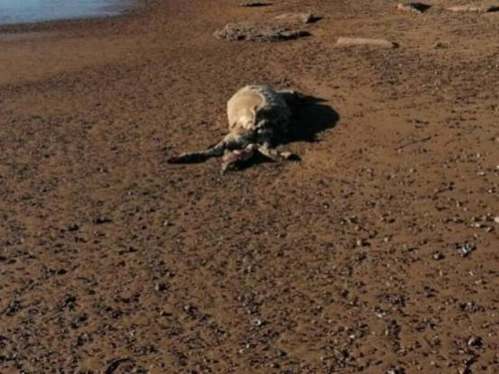Τραγωδία στην Ηλεία: Γέμισε νεκρά πρόβατα η παραλία