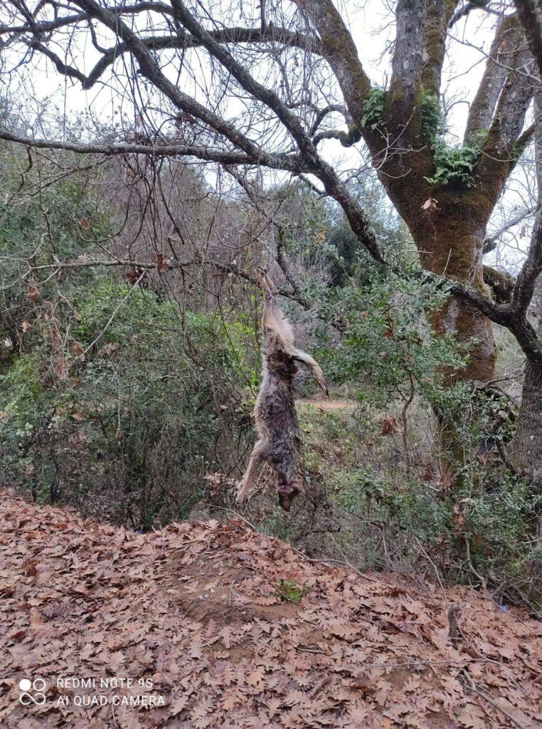 ΦΡΙΚΗ:Σκότωσαν και κρέμασαν λύκο στον Αράκυνθο Αιτωλ/νίας![σκληρές φώτο]